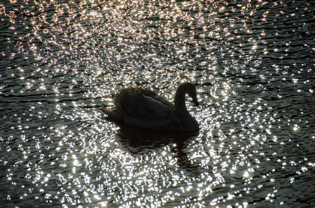 silhouette of a swan in the twilight Stock Photo - 17627138