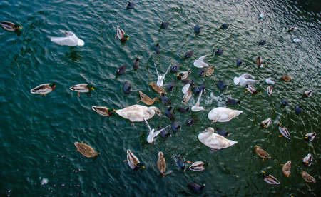 crowd of waterfowl competing for feed