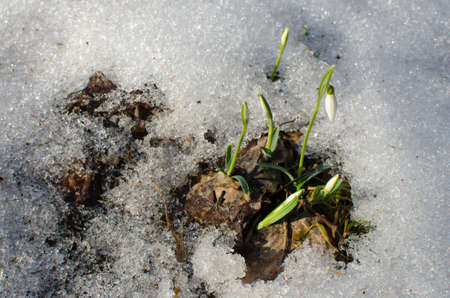 snowdrops and melting snow