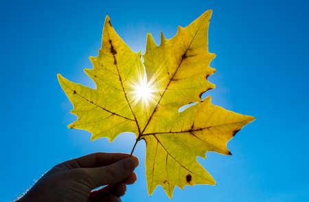 Foglia d'acero contro il sole