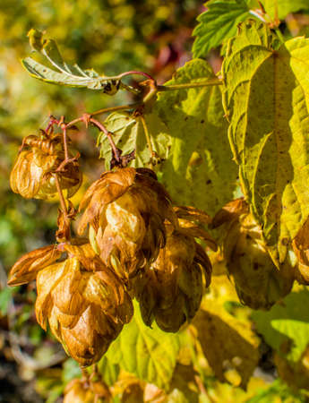 autumnal hops photo