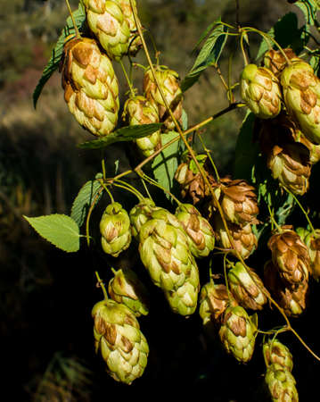 sunlit hops photo