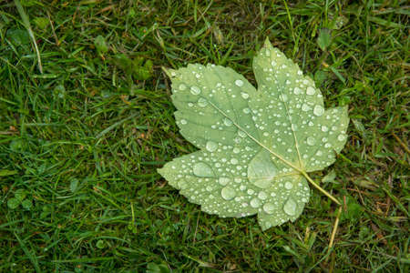 Maple leaf covered with raindrops