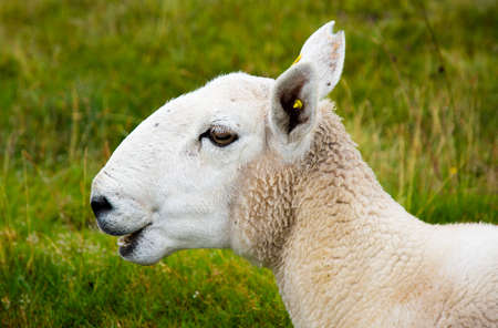 bleating: Bleating young sheep