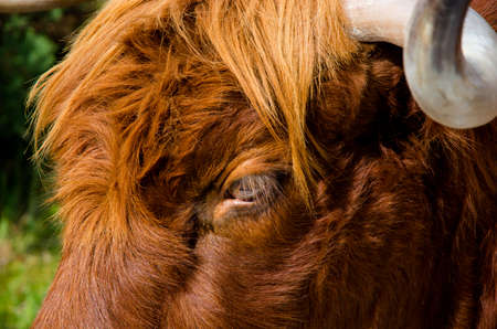 glance: Curious glance of a highland cattle Stock Photo