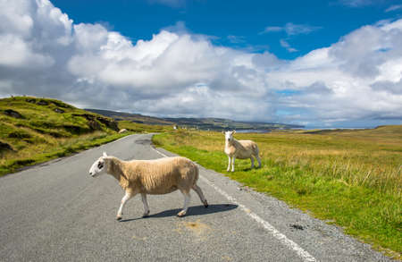 Delay due to crossing sheep