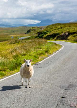 precedence: Sheep waiting on a scottish street