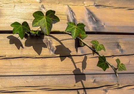 Edera che cresce attraverso il divario in parete di legno