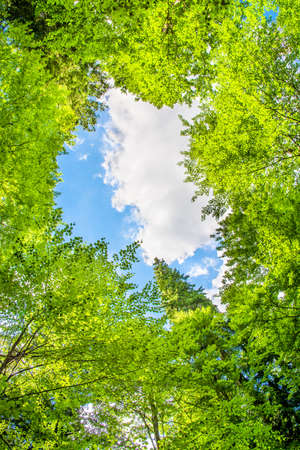 forest management: High crowns of trees and blue sky