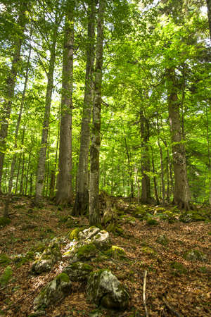forest management: Sunlight shining through the crowns of old trees