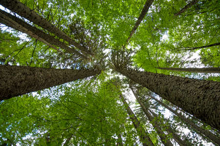 forest conservation: View up at the crowns of trees in an old wood Stock Photo