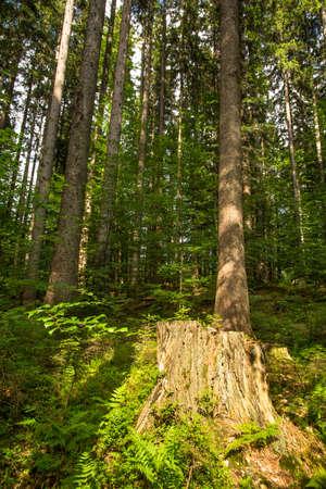Ceppo di albero in un vecchio legno alla luce del sole