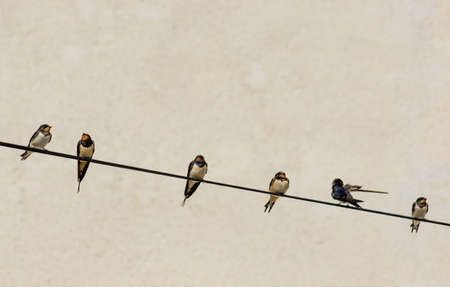 Numerous Swallows Sitting on Wire Stock Photo