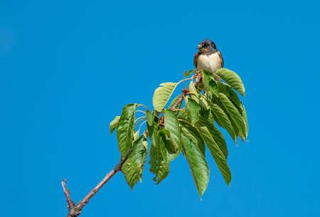 Swallow sitting on Cherry Tree Branch Stock Photo