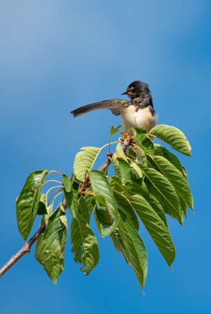 Swallow on Branch Pointing Direction Stock Photo