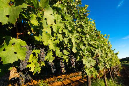 Uve mature in Soleggiato Vine Yard