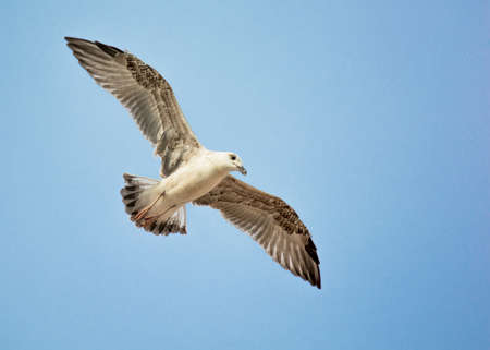 widespread: Seagull with Widespread Wings