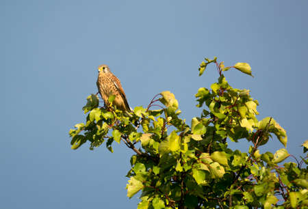 Kestrel Perched on a High Tree