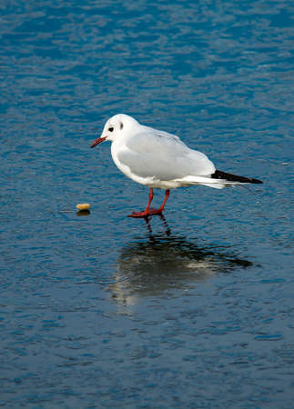 Seagull Observing Stone On Frozen Lake