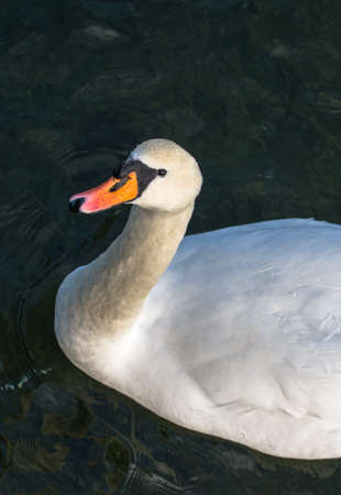 Curious Swan In Pond