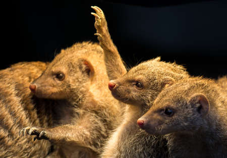 herpestidae: Group Of Juvenile Mongooses