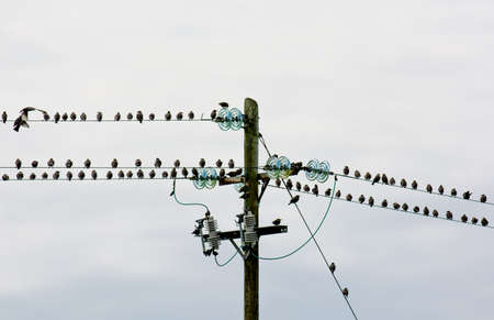 birds on a wire: Flock Of Birds Sitting On Electric Wire