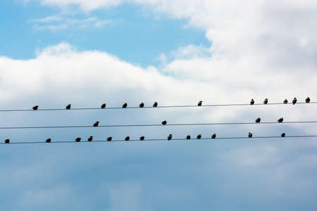 Flock Of Birds Sitting On Electric Wire