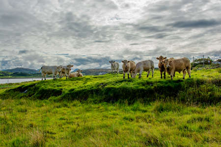 Herd Of Cattle On Pasture In Ireland Stock Photo