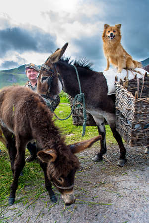 Man with Donkeys and Dog in Ireland Stock Photo