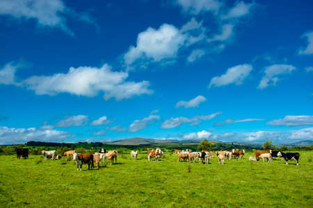 Herd of Cattle on Sunny Pasture Stock Photo