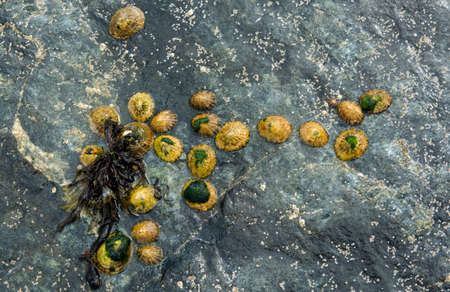 tide: Group of Limpets on a Stone during Low Tide Stock Photo