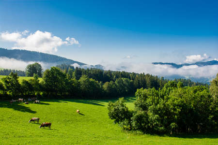 Cows on pasture in foggy valley in Styria in Austria
