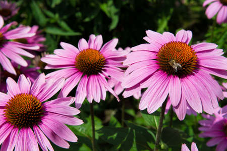 collecting: Echinacea blossom with bee collecting nectare Stock Photo