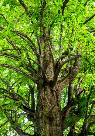 limetree: Tree crown of an old limetree