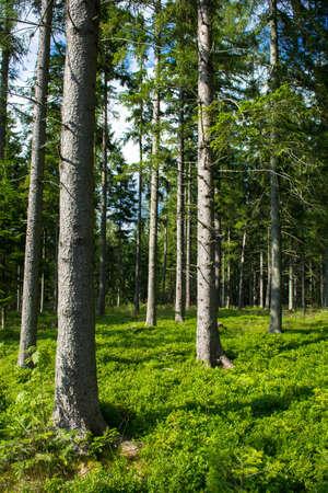 conifer: Sunlit Conifer Forest in Austria