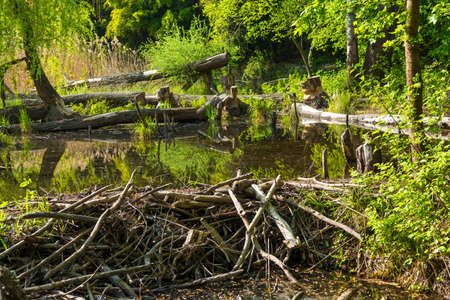 Beaver Dam in Wetlands National Park in Austria Imagens - 77991936