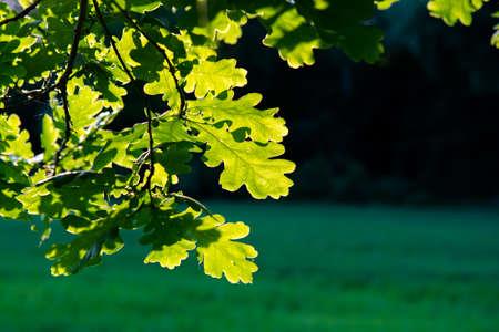 Sunlit Oak Leaves Stock Photo
