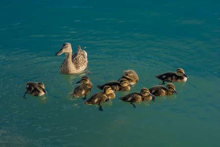 animal, baby, beak, beautiful, beauty, bird, chick, children, cute, duckling, ducks, environment, family, feathers, float, flock, group, juvenile, kids, lake, mallard, mother, nature, newborn, nobody, offspring, ornithology, parents, plumage, protect, pro Stock Photo