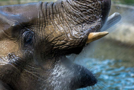 African Elephant Taking a Refreshing Bath Stock Photo