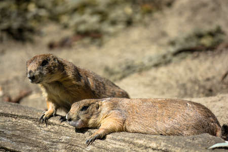 Two Exhausted Prairie Dogs Taking a Rest Stock Photo