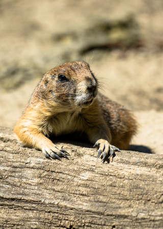 Vigilant Prairie Dog Taking a Rest