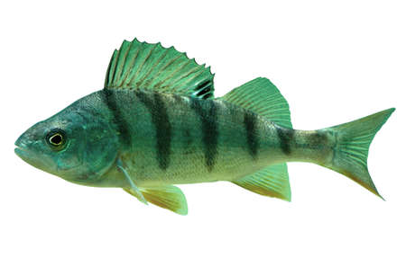 Isolated English Perch Over White