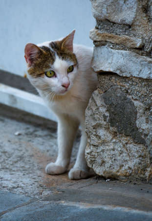 Domestic Cat looking cautiously around Corner