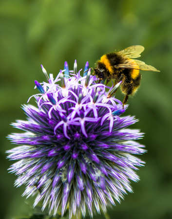 Bumblebee Collecting Nectar On Top Of Purple Flower