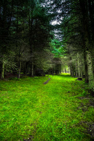 Grassy Footpath Through Mysterious Conifer Forest