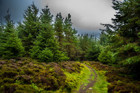 Narrow Hiking Trail Through Conifer Forest and Heather Flower Reklamní fotografie