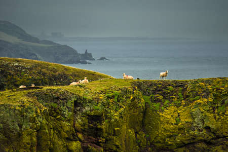 Steep Cliffs With Calm Sheep At The Spectacular Coast On St. Abbs Head In Scotland