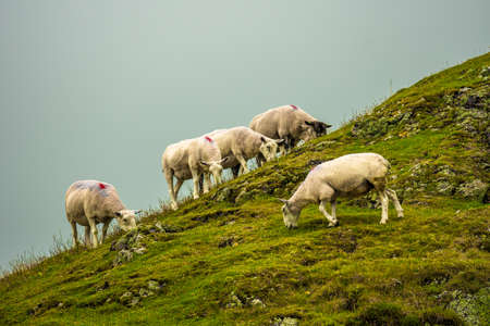 Herd Of Female Sheep On Rocky Pasture In Scotland
