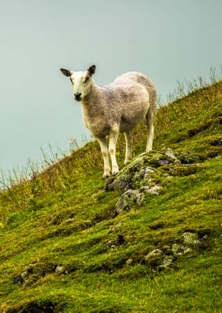 Lonely Sheep On Steep Pasture In Scotland Reklamní fotografie