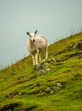 Lonely Sheep On Steep Pasture In Scotland Reklamní fotografie - 118976138